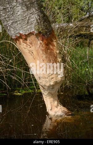 Downy birch tree (Betula pubescens) heavily gnawed by Eurasian beavers (Castor fiber) and close to being felled, - Stock Photo