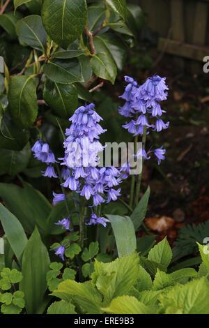 England Dorset Garden Flowers Spanish Bluebell (Hyacinthoides Hispanica) - Stock Photo