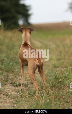 Italian Greyhound - Stock Photo