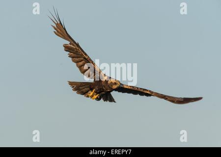 Eurasian marsh harrier - Stock Photo