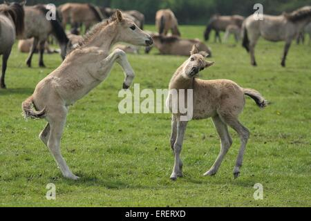 dulmen wild horse - Stock Photo