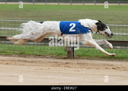 running Borzoi - Stock Photo
