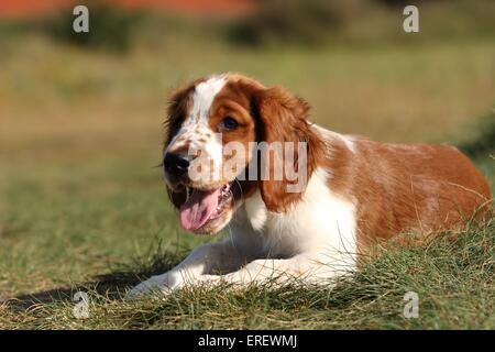 Welsh Springer Spaniel puppy - Stock Photo