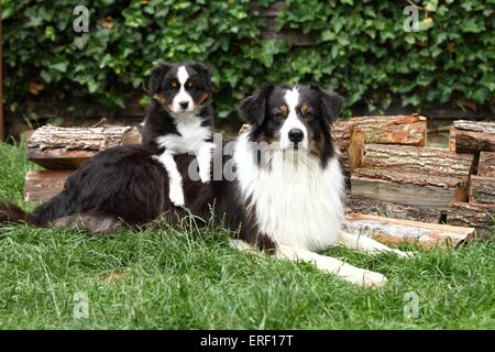 2 Australian Shepherds - Stock Photo