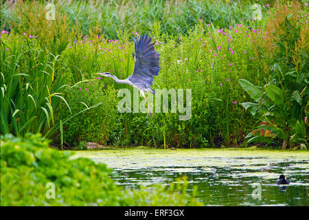Heron (Ardea herodias) in flight - Stock Photo