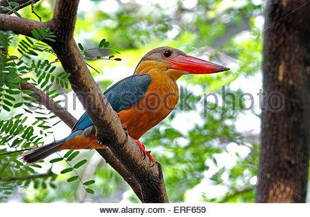 Stork-billed Kingfisher Pelargopsis capensis - Stock Photo
