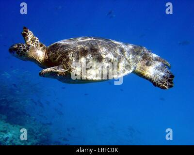 A Green sea turtle swimming underneath the Pacific Ocean off the Hawaiian islands. - Stock Photo