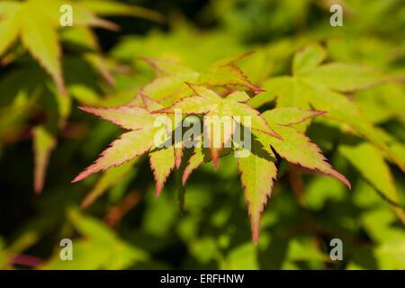 Japanese maple tree leaves (Acer palmatum) - Stock Photo