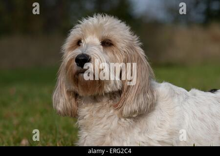 Petit Basset Griffon Vendeen Portrait - Stock Photo