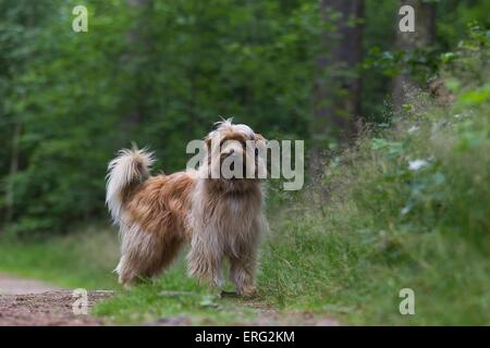 standing Pyrenean Sheepdog - Stock Photo