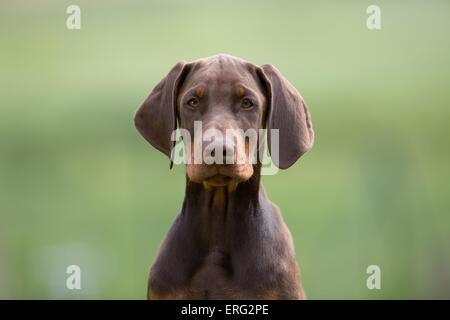 young Dobermann Pinscher - Stock Photo