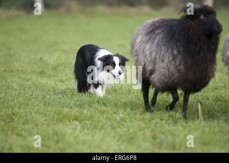 herding Border Collie - Stock Photo