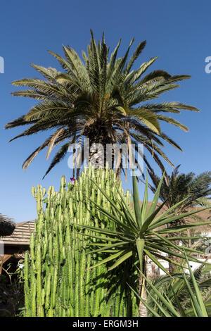 Palm Tree, Plants, Betancuria, Fuerteventura, Canary Islands, Spain, - Stock Photo