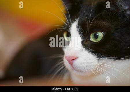 domestic cat portrait - Stock Photo