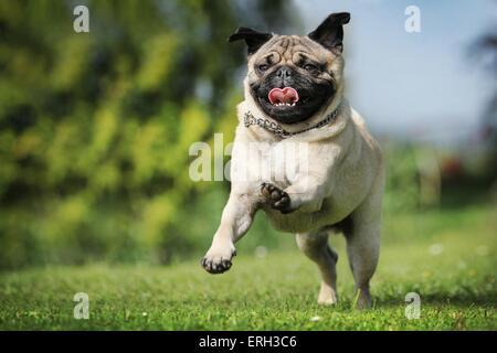 running Pug - Stock Photo