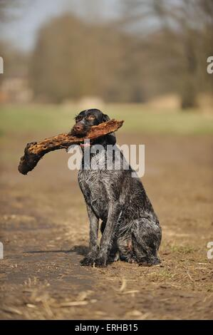sitting German wirehaired Pointer - Stock Photo