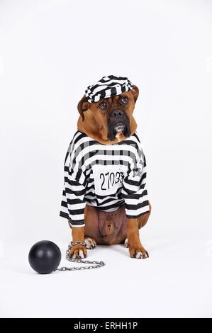 German Boxer as prisoner - Stock Photo