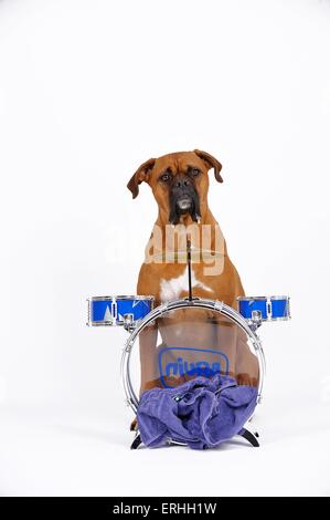 German Boxer with drums - Stock Photo