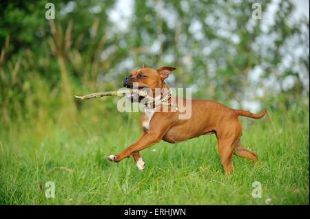 playing American Staffordshire Terrier - Stock Photo