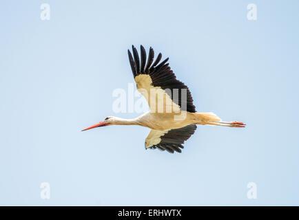 Flying white stork on blue sky - Stock Photo