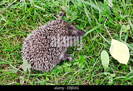 the little hedgehog sits in a grass - Stock Photo