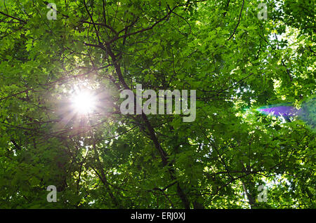 The warm spring sun shining through the canopy of tall  trees - Stock Photo