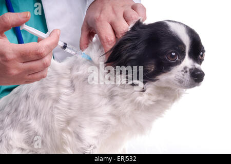 Vet and Dog, Chihuahua. The veterinarian exams the dog for checking its health. The dog gets an injection - Stock Photo