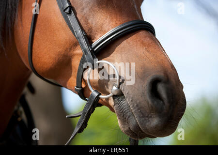 An Arabian horse wearing a bridle, focus on the bit - Stock Photo