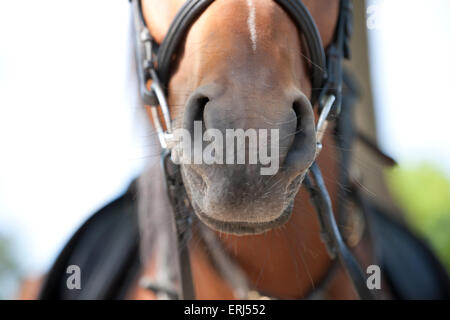 A horse wearing a bridle and saddle - Stock Photo