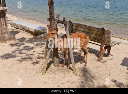 Sika deer (Cervus nippon) also known as the spotted deer or the Japanese deer on the Itsukushima (Miyajima) Island - Stock Photo