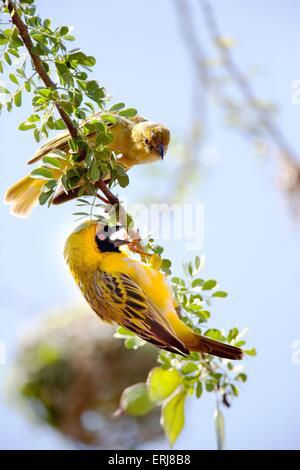 weaver birds - Stock Photo