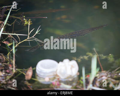 Needle nose gar swimming in polluted water - Stock Photo