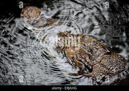 estuarine crocodile - Stock Photo