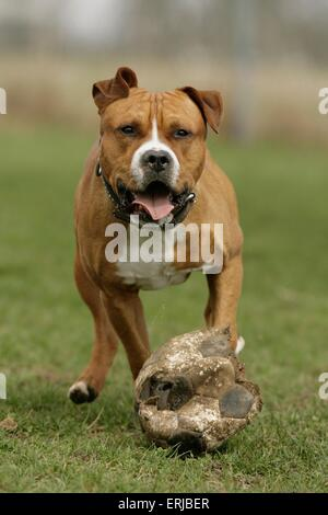 running American Staffordshire Terrier - Stock Photo