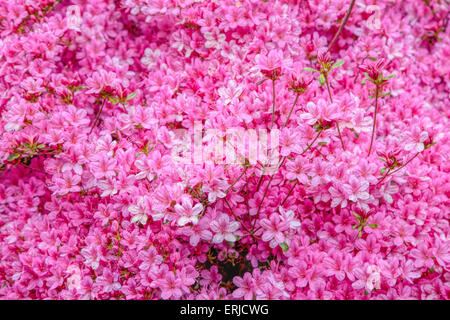 Rhododendron Hinomayo adding spring colors in the garden of Sheffield Park & Garden, Uckfield, East Sussex, England, - Stock Photo