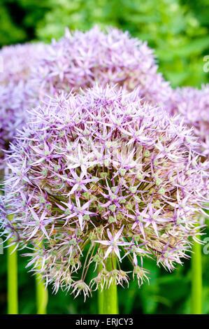 A single stem allium flower - Stock Photo