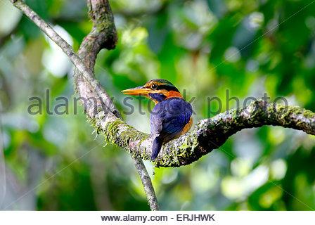 Rufous-collared Kingfisher Actenoides concretus - Stock Photo