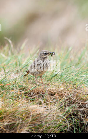 Meadow pipit (Anthus pratensis), adult with food (including a beetle) in its beak standing in a patch of grass on - Stock Photo