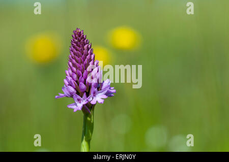 Pyramidal orchid (Anacamptis pyramidalis) flowering in a wildflower meadow at College Lake Nature Reserve, Hertfordshire, - Stock Photo