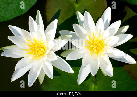 A close up of two water lilies captured in a garden at morning - Stock Photo
