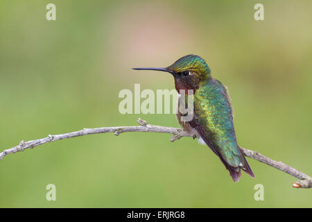 A ruby-throated hummingbird perched on a small branch. - Stock Photo