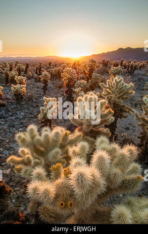Cholla Cactus Garden in Joshua Tree National Park, California. - Stock Photo