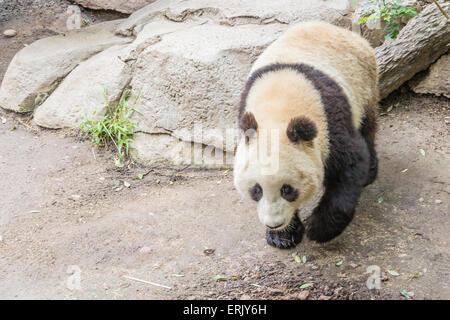 'Giant Panda Bear' Cub at San Diego Zoo. - Stock Photo