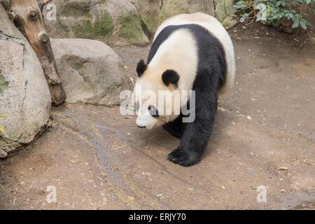 'Giant Panda Bear' at San Diego Zoo. - Stock Photo