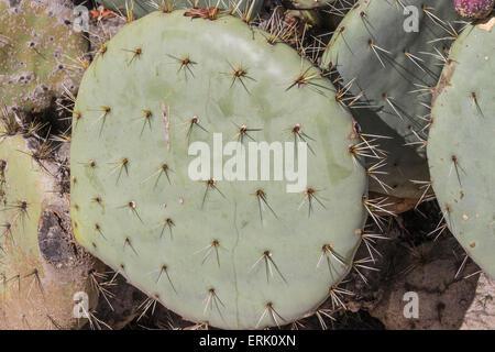 'Wheel Cactus' (Prickly Pear) in 'Wrigley Memorial Botanical Garden' on Catalina Island - Stock Photo