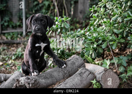 Portrait of small black puppy in nature with front feet up on logs - Stock Photo