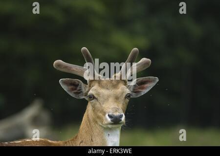 European fallow deer - Stock Photo