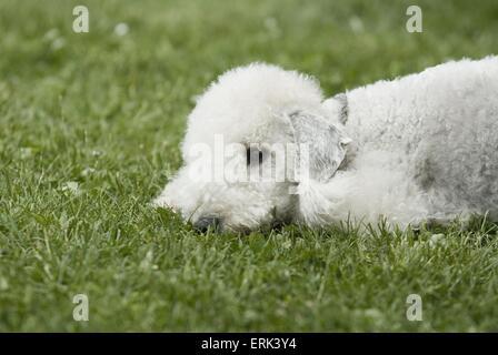 lying Badlington Terrier - Stock Photo