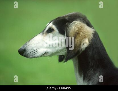 Saluki Portrait - Stock Photo