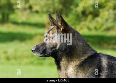 shepherd portrait - Stock Photo